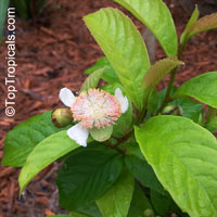 Tetracera indica, Tetracera  Click to see full-size image