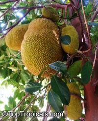 Artocarpus heterophyllus - Jackfruit Echo, grafted  Click to see full-size image