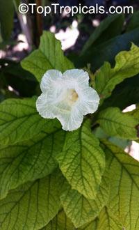 Cordia superba, Brazilian Cordia, Geiger Tree White  Click to see full-size image