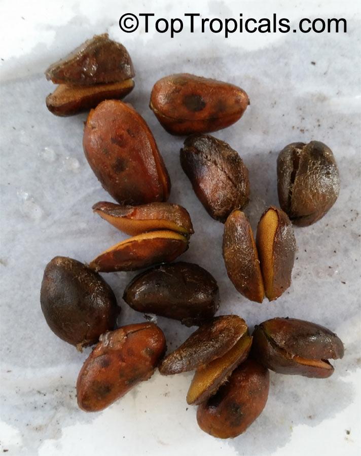 Cola nitida, Cola acuminata, Cola Nut, Kola, Guru Nut