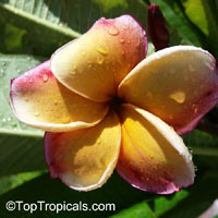 Plumeria rubra Yellow, Plumeria acutifolia, Frangipani, Temple tree, Calachuchi  Click to see full-size image