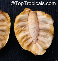 Annona sp., Golden Sugar Apple, Pineapple Sugar Apple, Honey Sugar Apple