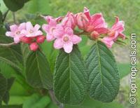 Samyda pubescens, Kase SekClick to see full-size image