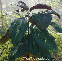 Miconia calvescens, Miconia, Velvet Tree  Click to see full-size image