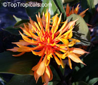 Burbidgea schizocheila, Golden Brush, Dwarf Orange Ginger, Voodoo Flame Ginger  Click to see full-size image