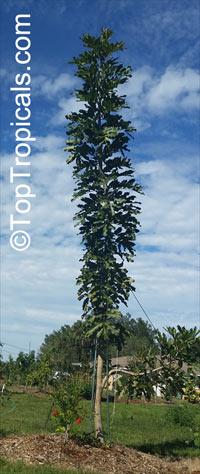 Polyalthia sp., Polyalthia  Click to see full-size image