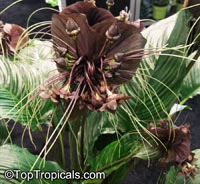 Tacca chantrieri, Bat Head Lily, Bat Flower, Devil Flower, Black Tacca  Click to see full-size image