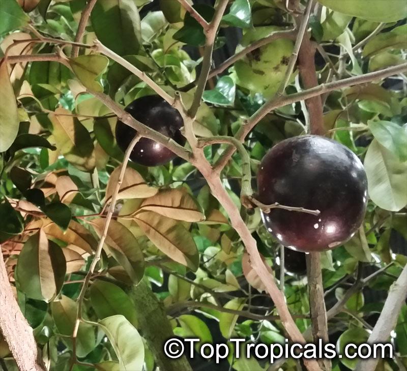 chrysophyllum cainito Chrysophyllum acuminatum lam chrysophyllum angustifolium lam chrysophyllum brachycalyx urb chrysophyllum brachystylum urb chrysophyllum cainito microphyllum jacq.