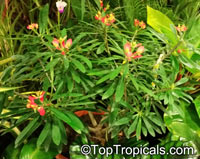 Euphorbia gymnonota, Milkweed  Click to see full-size image