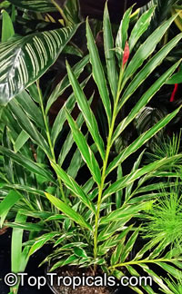 Alpinia sp., Ginger Lily  Click to see full-size image