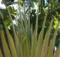 Ravenala madagascariensis, Travelers Palm
