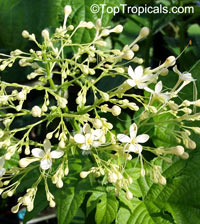 Clerodendrum paniculatum, Pagoda Flower, Orange Tower Flower, ClerodendronClick to see full-size image