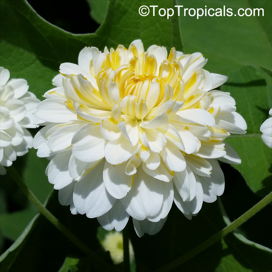 Montanoa Bipinnatifida Tree Chrysanthemum Pom Pom Tree