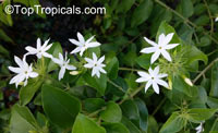 Jasminum multiflorum, Jasminum pubescens, Jasminum gracillimum, Jasminum bifarium, Jasminum elongatum, Downy Jasmine, Angel Hair Jasmine, Star JasmineClick to see full-size image