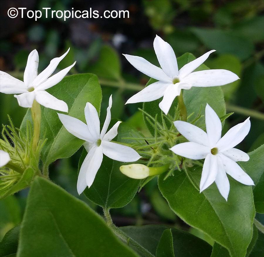 Jasminum Multiflorum Jasminum Pubescens Jasminum Gracillimum