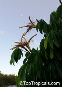 Pachira aquatica, Bombax glabrum, French Peanut, Malabar Chesnut, Guiana Chestnut, Provision Tree, Money Tree Click to see full-size image