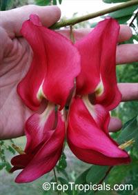 Sesbania grandiflora, Agati grandiflora, Hummingbird Tree, Butterfly Tree, Agati  Click to see full-size image