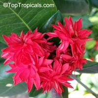 Ixora hybrid Crimson Star, Crimson Star  Click to see full-size image