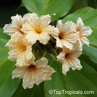 Cordia subcordata - Peach Geiger tree, Kou, Manjak