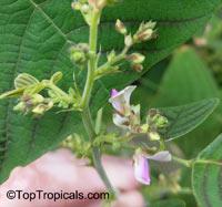 Christia obcordata, Christia subcordata, Lourea obcordata, Butterfly Stripe Plant, Swallowtail, Iron Butterfly, Cordata  Click to see full-size image