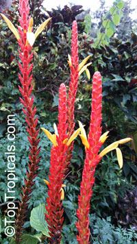 Aphelandra hartwegiana, Yellow Aphelandra   Click to see full-size image