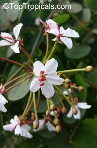 Bauhinia polysperma, Bauhinia glauca subsp. tenuiflora, Bauhinia caterviflora, Bauhinia tenuiflora , Glaucous Climbing Bauhinia, Climbing Orchid Tree  Click to see full-size image