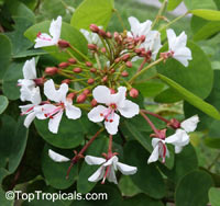 Bauhinia polysperma - Glaucous Climbing Bauhinia  Click to see full-size image