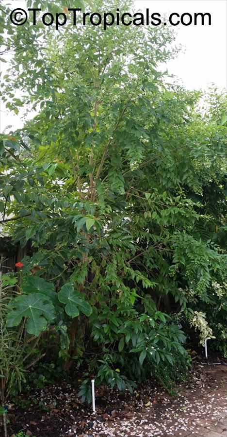 Nyctanthes Arbor Tristis Arbor Tristis Sad Tree Night