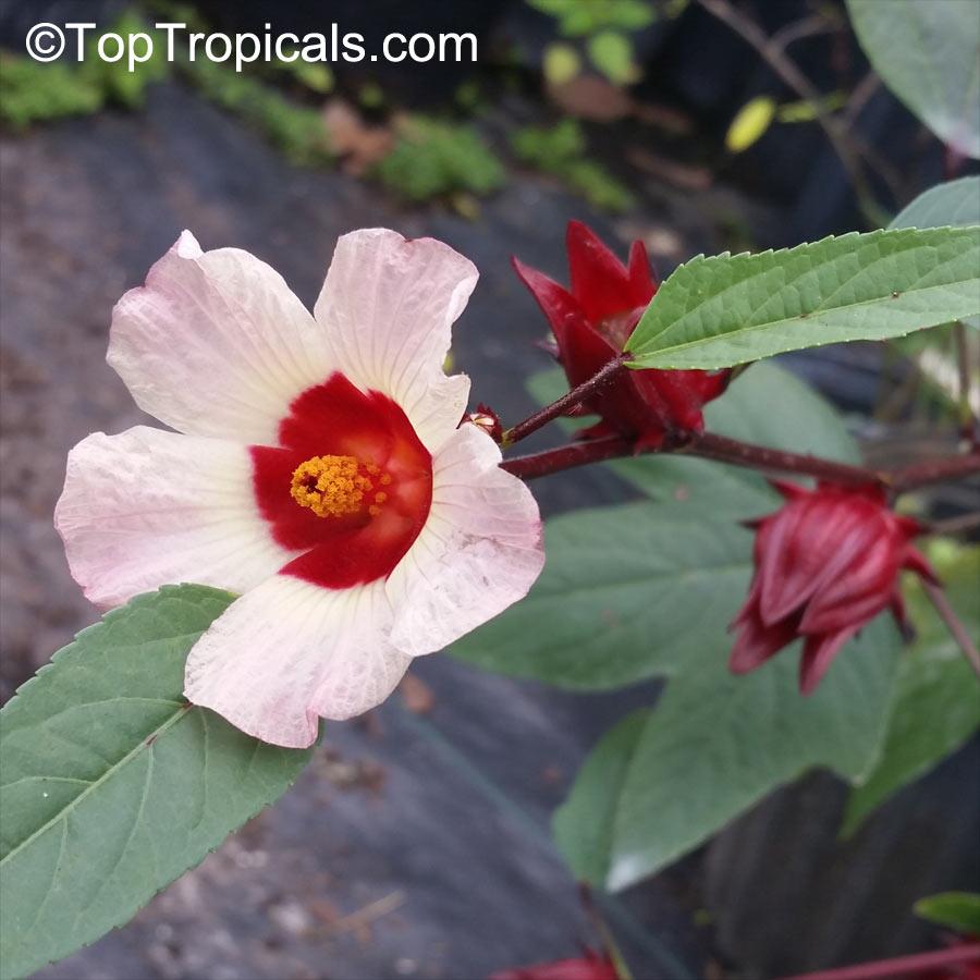 Hibiscus sabdariffa, Karkade, Red sorrel, Red tea, Roselle ...