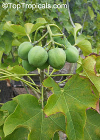 Jatropha curcas - Physic Nut  Click to see full-size image