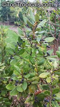 Persea borbonia, Laurus borbonia, Persea littoralis, Redbay, Florida Mahogany, Sweet Bay, Silk Bay, Laurel Tree  Click to see full-size image