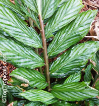 Zingiber collinsii, Ginger Silver Streaks