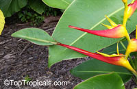 Heliconia latispatha, Expanded Lobsterclaw