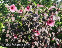 Hibiscus acetosella, African Rosemallow, Maple Sugar, Red Hibiscus, Cranberry Shield, Gongura  Click to see full-size image