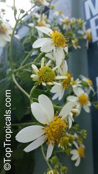 Montanoa grandiflora, Daisy Tree  Click to see full-size image