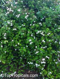 Jasminum dichotomum, Rose Bud Jasmine, Everblooming Jasmine, Gold Coast Jasmine  Click to see full-size image
