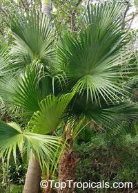 Livistona sp., Fountain Palm  Click to see full-size image