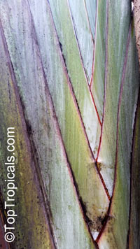 Ravenala madagascariensis, Travellers palmClick to see full-size image