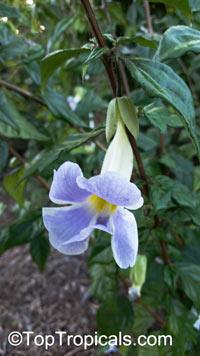 Thunbergia erecta, King's Mantle, Bush Clock VineClick to see full-size image