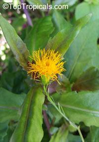 Gynura procubens, Alakaline Herb, Sambung Nyawa, Longevity Spinach  Click to see full-size image