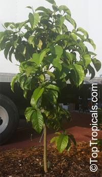 Magnolia sirindhorniae, Magnolia ballonii, Magnolia  Click to see full-size image