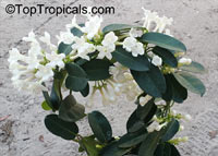 Stephanotis floribunda, Bridal Bouquet, Madagascar Jasmine, Wax flower, Chaplet flower, Floradora, Hawaiian Wedding flower  Click to see full-size image