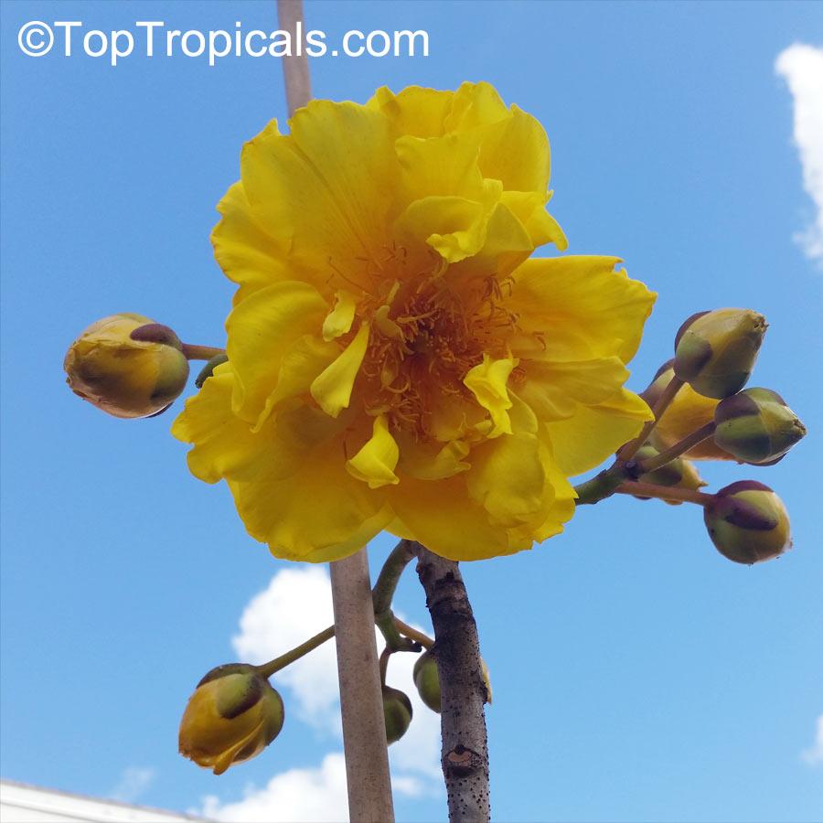 cochlospermum vitifolium buttercup tree mountain cotton