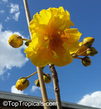 Cochlospermum sp., Yellow Cotton Tree 