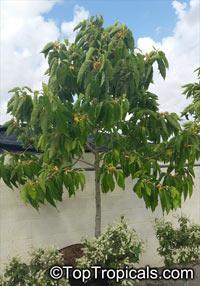 Magnolia (Michelia) champaca - Joy Perfume Tree, Champaka, 25 gal pot  Click to see full-size image