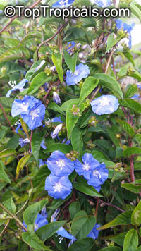 Evolvulus sp., Dwarf Morning Glory  Click to see full-size image