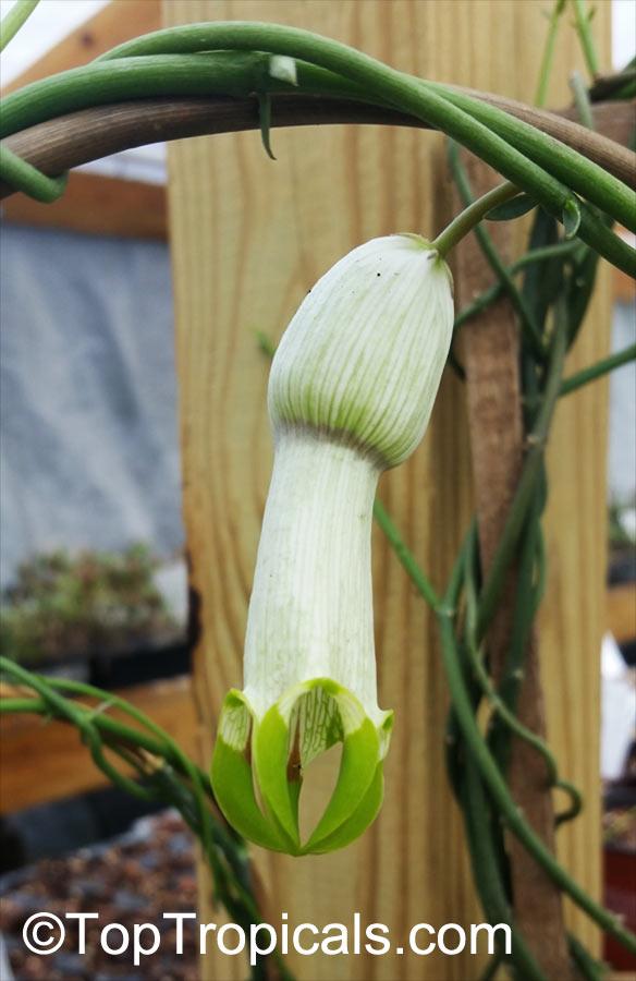 Garden Bush: Ceropegia Ampliata, Horny Wonder, Bushman's Pipe, Condom