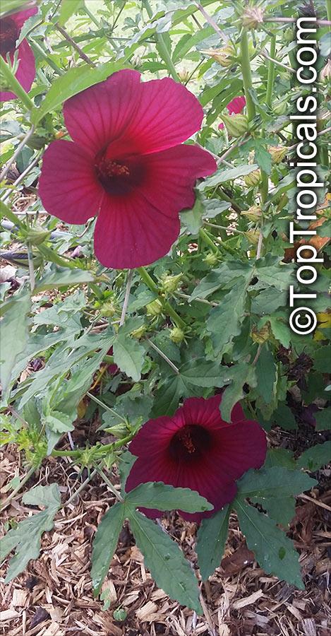20150411_105922Hibiscus_cannabinus_TA.jp