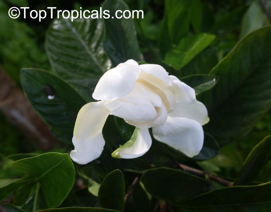 Gardenia Sp Gardenia Toptropicals Com