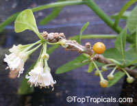Acnistus arborescens, Hollowheart, Wild Tabbaco  Click to see full-size image